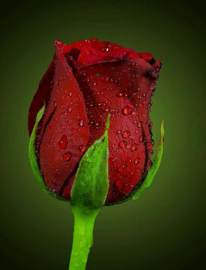 🌹 खुबसूरत गुलाब - ShareChat