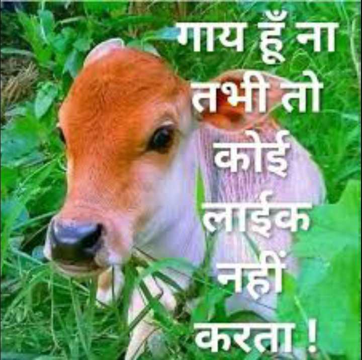 🐄 गौ माता - गाय हूँ ना तभी तो कोई लाईक नहा करता ! - ShareChat