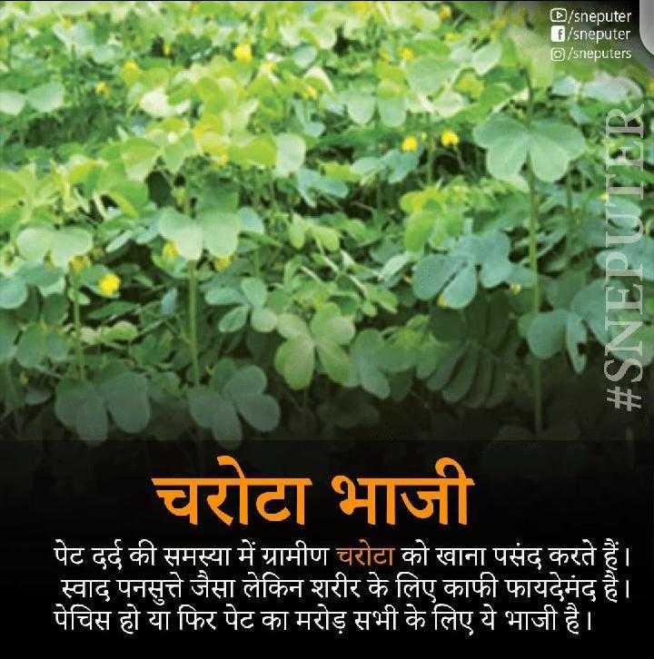 😋 छत्तीसगढ़ी खान-पान - D / sneputer G / sneputer D / sneputers ANS # चरोटा भाजी पेट दर्द की समस्या में ग्रामीण चरोटा को खाना पसंद करते हैं । स्वाद पनसुत्ते जैसा लेकिन शरीर के लिए काफी फायदेमंद है । पेचिस हो या फिर पेट का मरोड़ सभी के लिए ये भाजी है । - ShareChat