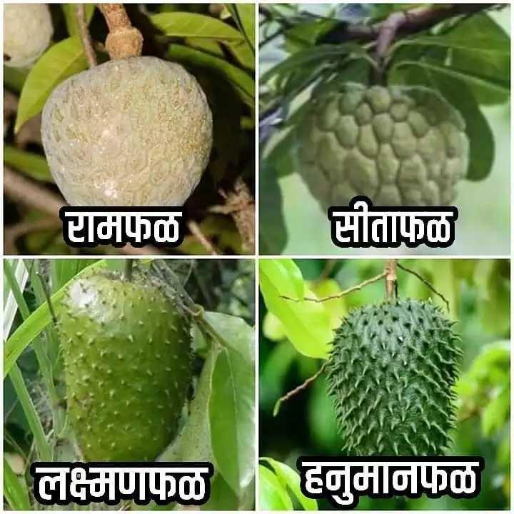 फळे - रामफळ सीताफळ लक्ष्मणफळ हनुमानफळ - - ShareChat