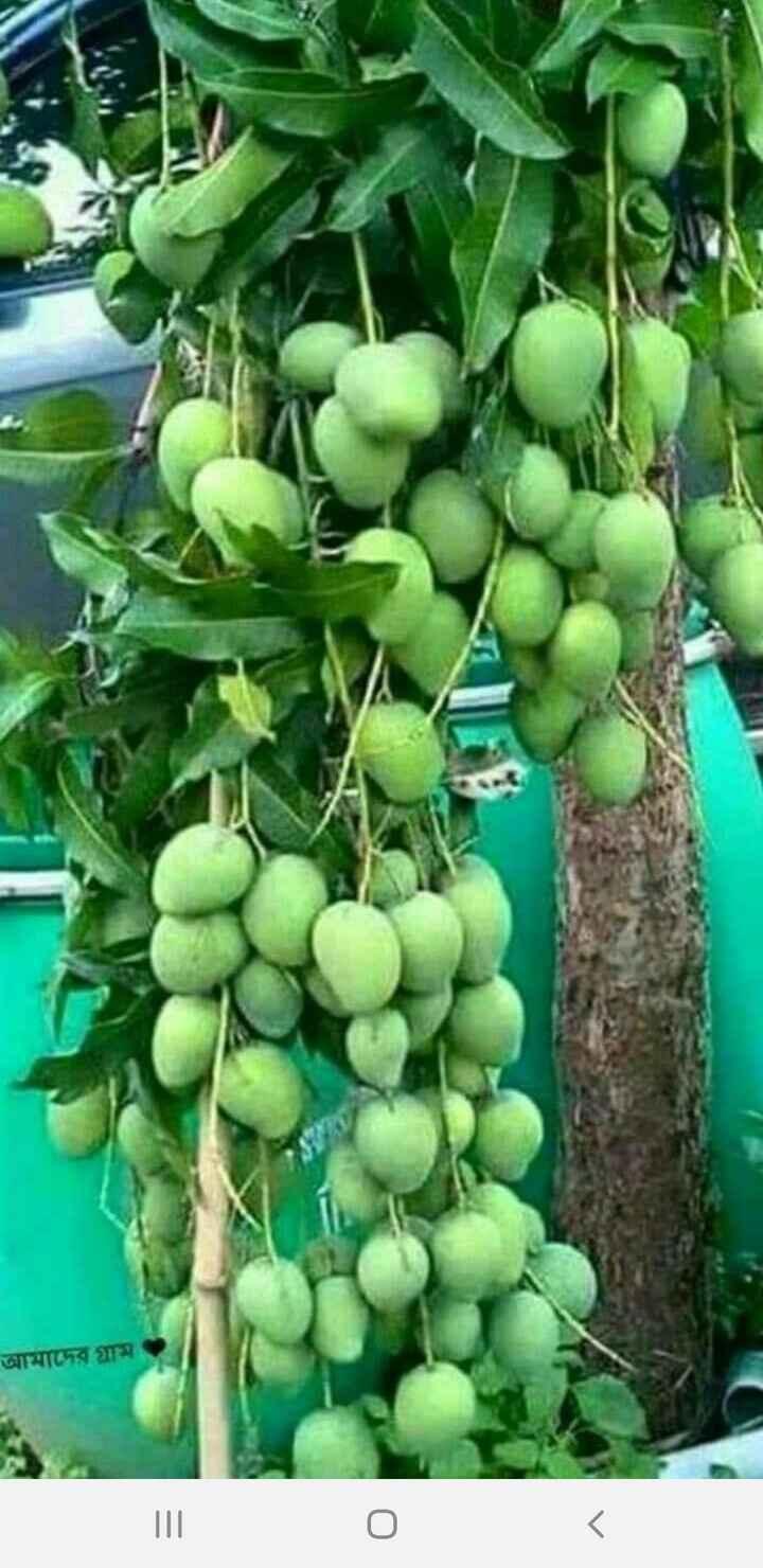 फळे - আমাদের গ্রাম - ShareChat
