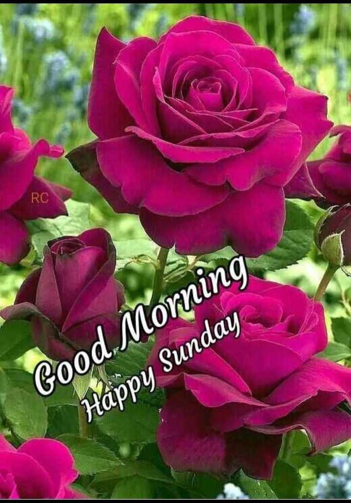🌷शुभ रविवार - RC Good Morning Happy Sunday - ShareChat