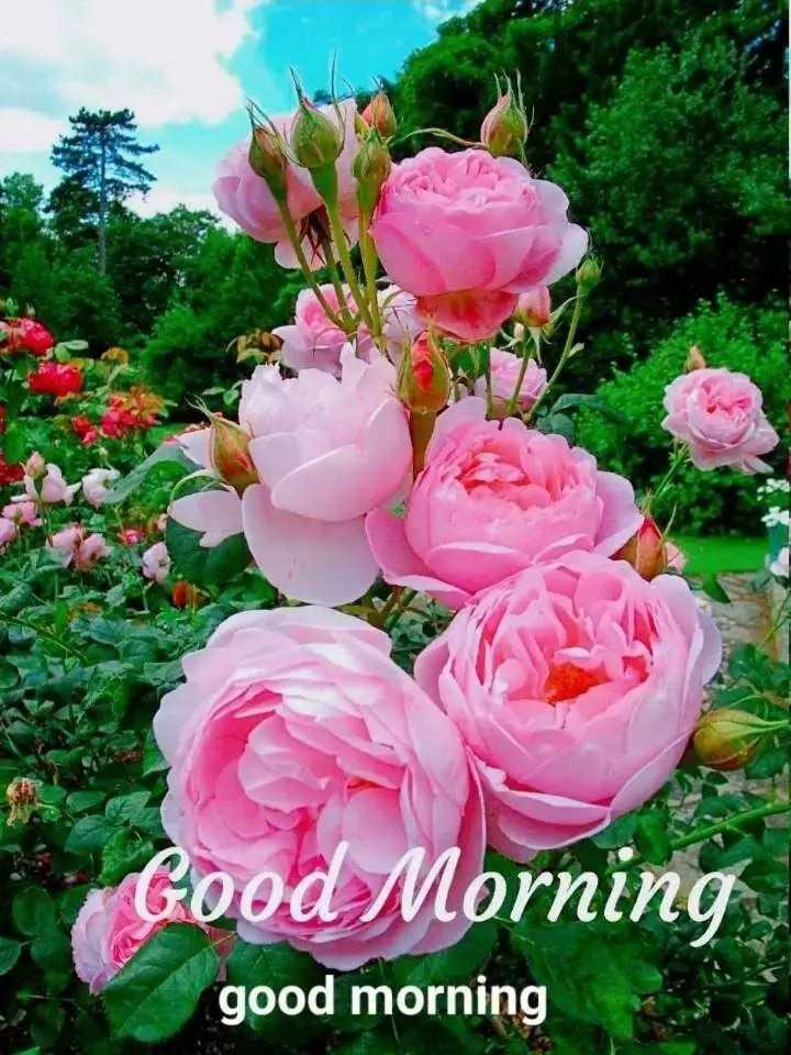 🌷शुभ शुक्रवार - Good Morning good morning - ShareChat