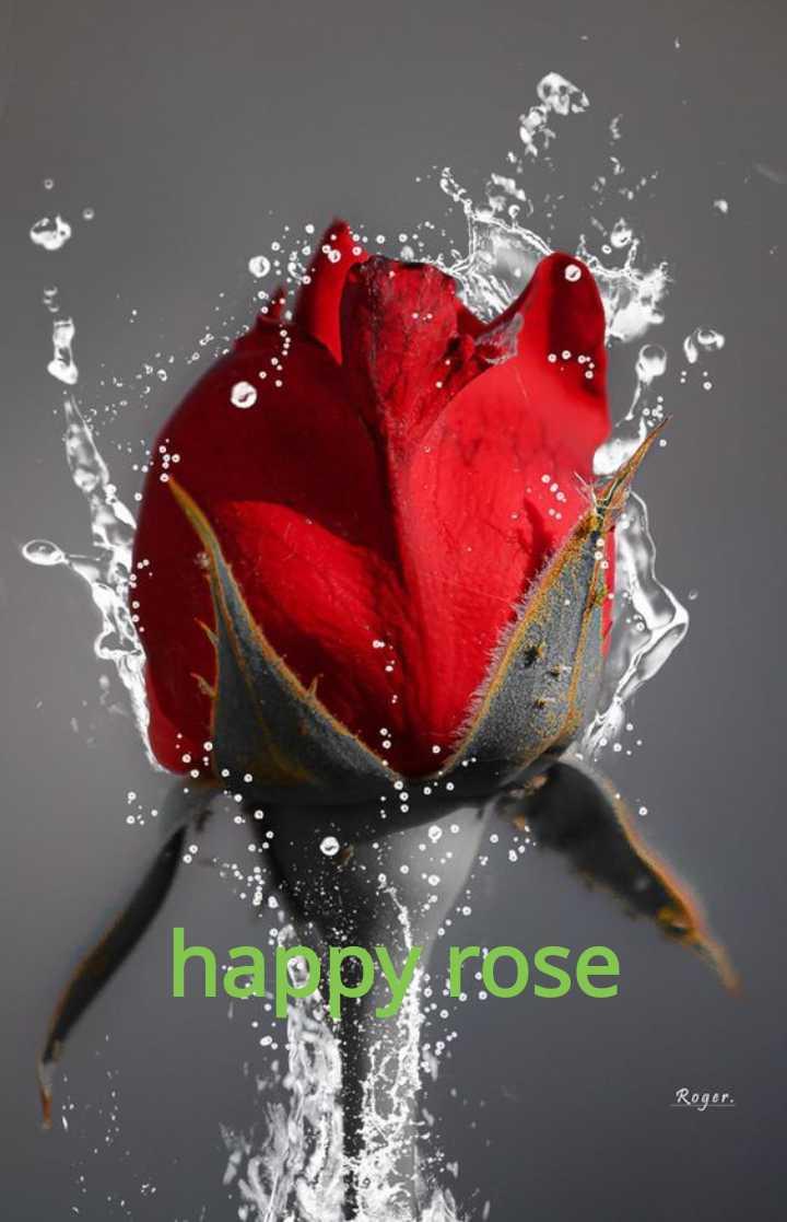 🌹 हैप्पी रोज़ डे 🌹 - haap rose Roger . - ShareChat