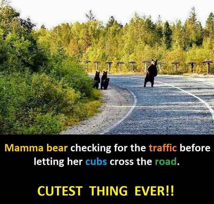 🙌শুভকামনা - Mamma bear checking for the traffic before letting her cubs cross the road . CUTEST THING EVER ! ! - ShareChat