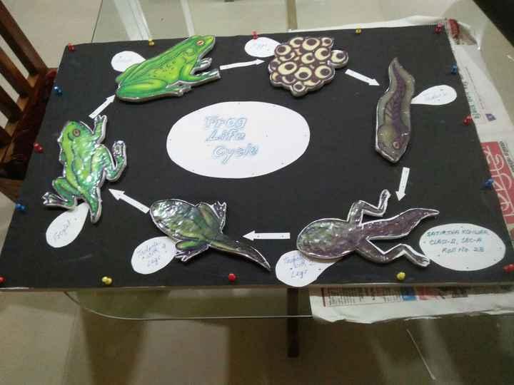 🥋🥋সমৰ কলা - Frog Life Cycle SATIRTHA KONWAR · CLASS - L SEC - A Roll No . 28 . Tadpolith 2 - ShareChat