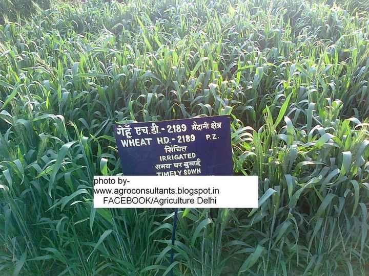 👦🏻 ਗੁੱਲੀ ਡੰਡਾ - गेहँ एच . डी . - 2189 मैदानी क्षेत्र WHEAT H . D . - 2189 P . Z . सिंचित IRRIGATED समय पर बुवाई TIMELY SOWN photo by www . agroconsultants . blogspot . in FACEBOOKIAgriculture Delhi - ShareChat