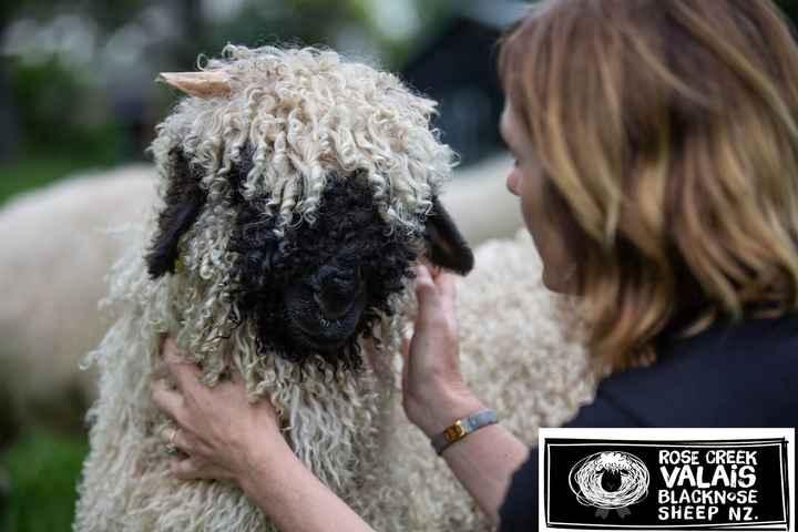 🐑ਭੇੜ - ROSE CREEK VALAIS BLACKNOSE SHEEP NZ . - ShareChat