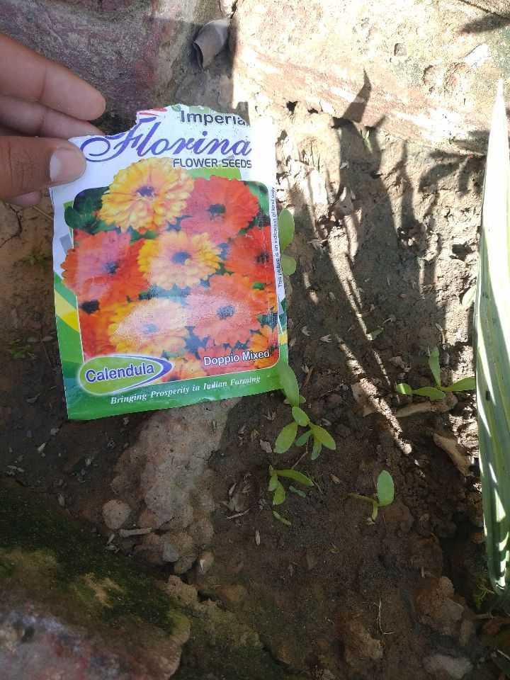 🌼 ਮੇਰਾ ਬਗੀਚਾ 🌸 - Imperia Lorina FLOWER SEEDS indicata of kord This picture Doppio Mixed Calendula Bringing Prosperity in luwian Farming - ShareChat