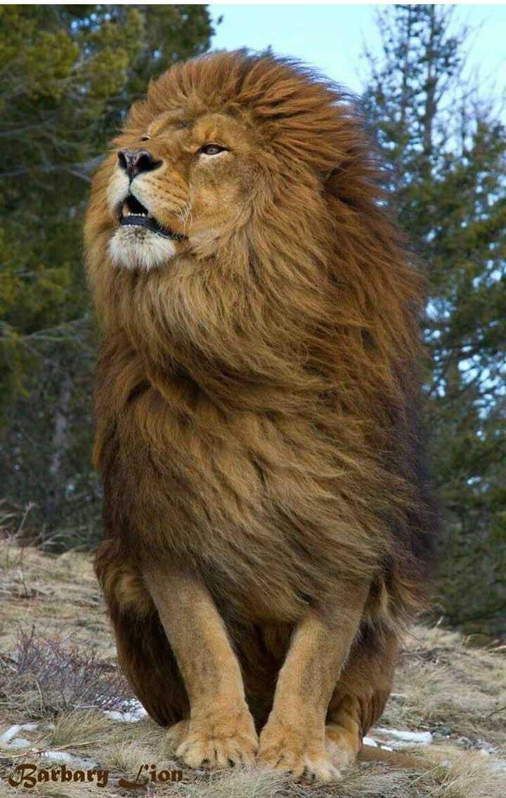 🐧 વન્યજીવન ફોટોગ્રાફી 🐇 - Barbary - lion - ShareChat
