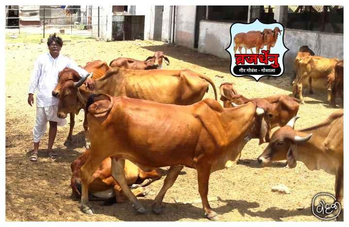 🐄 વિશ્વ ગાય દિવસ - गीर गोवंश - गोशाला | deo - ShareChat