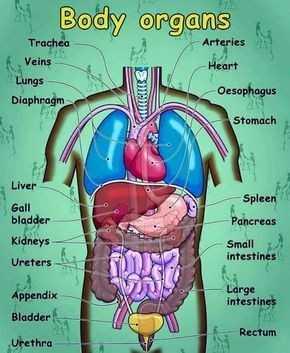 🤔ଜଣା ଅଜଣା - Body organs Arteries Trachea Veins Heart Lungs Oesophagus Diaphragm Stomach Liver Gall bladder Kidneys Ureters Spleen Pancreas Small intestines Large intestines Appendix Bladder Rectum Urethra - ShareChat