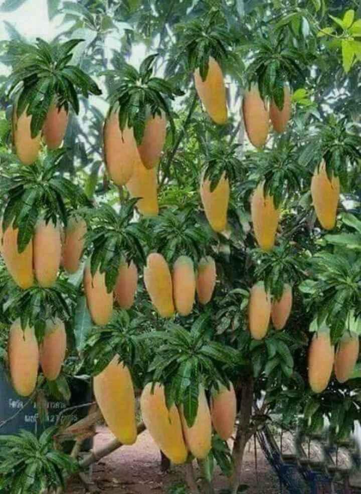 మామిడి పండ్ల స్పెషల్ - ShareChat