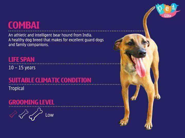 ಪ್ರಾಣಿಗಳ ಪ್ರಪಂಚ - Glitz COMBAI @ eeeeeee An athletic and intelligent bear hound from India . A healthy dog breed that makes for excellent guard dogs and family companions . LIFE SPAN 10 - 15 years SUITABLE CLIMATIC CONDITION Tropical GROOMING LEVEL - ShareChat