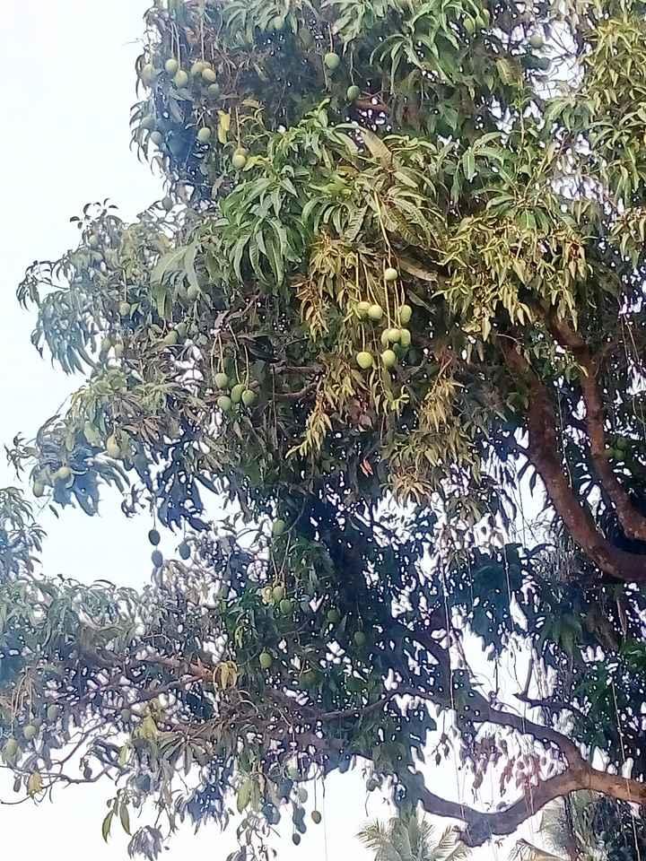 ಮಾವಿನ ಕಾಯಿ - ShareChat