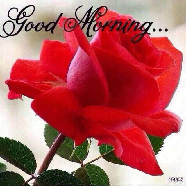 🌅ಶುಭೋದಯ - Good Morning . . . Roses - ShareChat