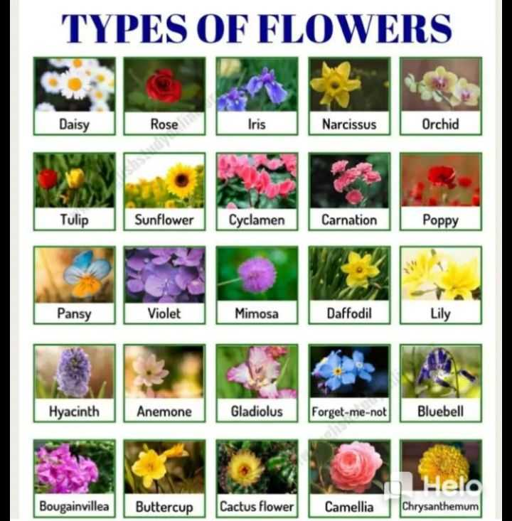 👩‍💻english నేర్చుకుందాం - TYPES OF FLOWERS Daisy Rose Iris Narcissus Orchid Tulip Sunflower Cyclamen Carnation Poppy Pansy Violet Mimosa Daffodil Hyacinth Anemone Gladiolus Forget - me - not Bluebell Bougainvillea Buttercup Cactus flower Camellia Chrysanthemum - ShareChat
