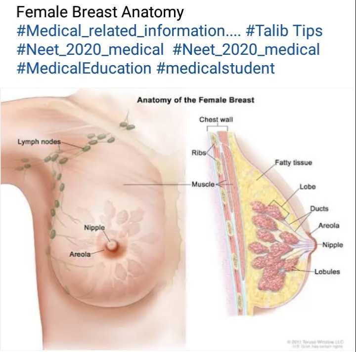 ✍️अल्फ़ाज़✍️ - Female Breast Anatomy # Medical _ related _ information . . . . # Talib Tips # Neet _ 2020 _ medical # Neet _ 2020 _ medical # MedicalEducation # medicalstudent Anatomy of the Female Breast Chest wall Lymph nodes Ribs Fatty tissue - Muscle Lobe Ducts Nipple Areola Nipple Areola Lobules - ShareChat
