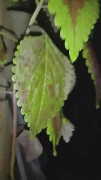 🌿 ઘરની તુલસીનો વિડિઓ - ShareChat
