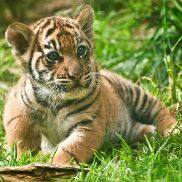 Tiger is back - Author on ShareChat: Funny, Romantic, Videos, Shayaris, Quotes