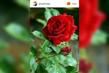 🌹హ్యాపీ హోలీ 2019 - @ pushpa I love rose Google Play OP Vijaya chow Hary Hela అఖంకైలం , - ShareChat