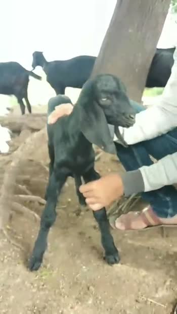 🐶 माझ्या पाळीव प्राण्यांचा व्हिडीओ - ShareChat