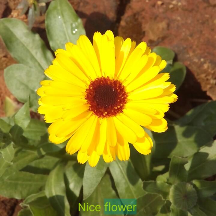 🌻Flowers - Nice flower - ShareChat