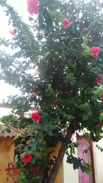 🌼फुल झाड व्हिडीओ चॅलेंज - ShareChat