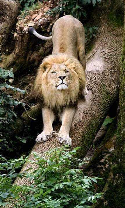 Lion - ShareChat