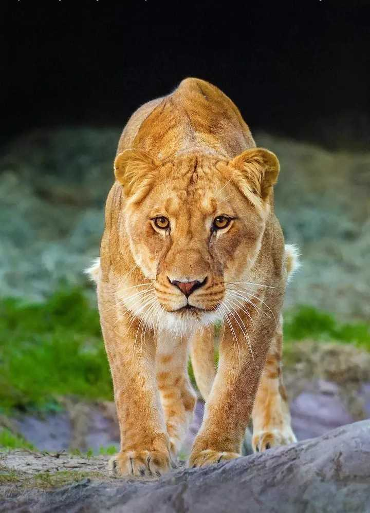 Lion - ShareChat