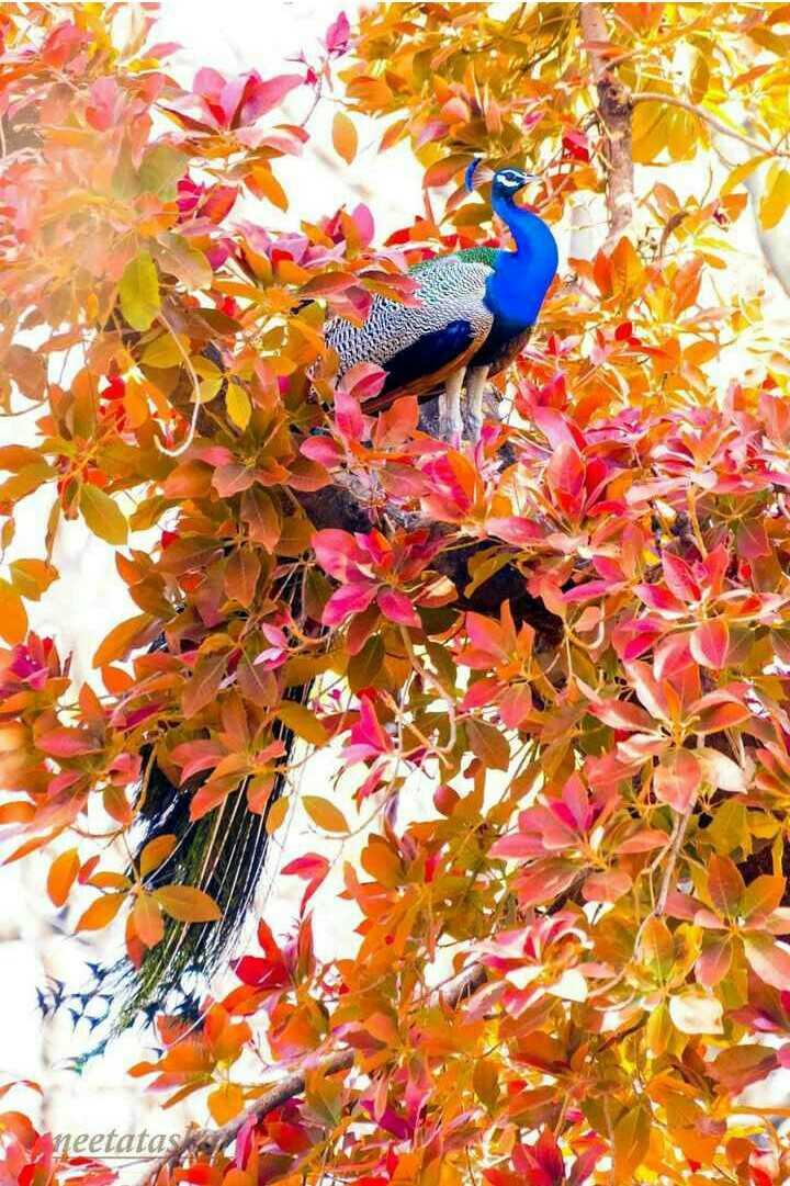 Peacock - neetatas - ShareChat