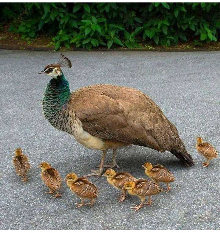 Peacock - ShareChat