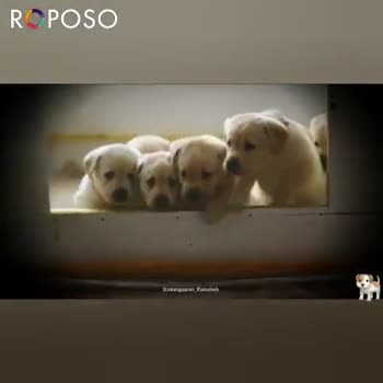 dog lovers - Sinh RC POSO ROPOSO Install now : - ShareChat