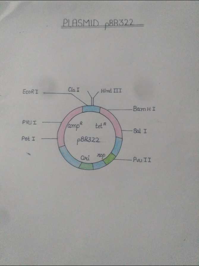 Biology  - PLASMID BR322 EcoRI Cla I Hind III BamHI PVUI lampe tete pBR322 - Sal I Pst I ori rop - PVU II - ShareChat