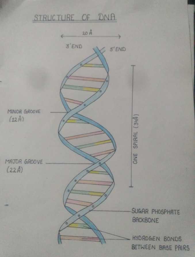 Biology  - STRLICTURE OF DNA 20 Å 3 ' END 5 ' END MINOR GROOVE ( 128 ) ONE SPIRAL ( 348 ) MAJOR GROOVE ( 22 Å DUM SUGAR PHOSPHATE BACKBONE HYDROGEN BONDS BETWEEN BASE PAIRS - ShareChat