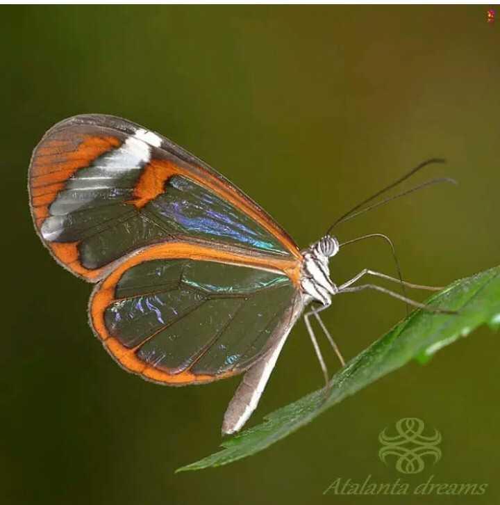butterfly - Atalanta dreams - ShareChat