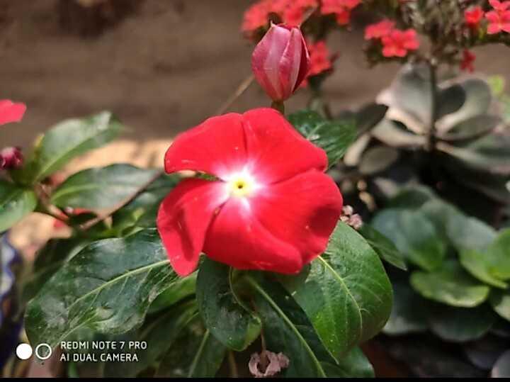 cute flowers - REDMI NOTE 7 PRO AI DUAL CAMERA U - ShareChat