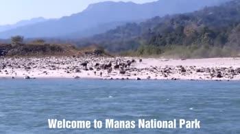 ভ্ৰমণ ফটোগ্ৰাফী📸 - Buffaloes are drinking water on Manas River . . - ShareChat