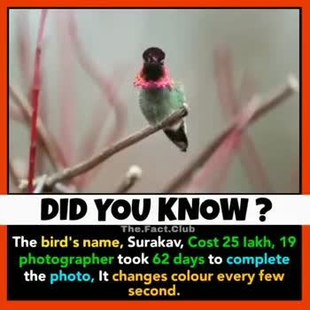 दिलचस्प - The . Fact . club DID YOU KNOW ? The bird ' s name , Surakav , Cost 25 lakh , 19 photographer took 62 days to complete the photo , It changes colour every few second . The . Fact . club DID YOU KNOW ? The bird ' s name , Surakav , Cost 25 lakh , 19 photographer took 62 days to complete the photo , It changes colour every few second . - ShareChat