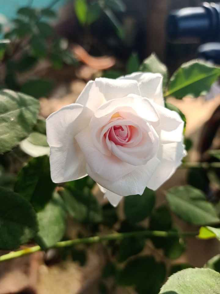 flower 🌹 - ShareChat