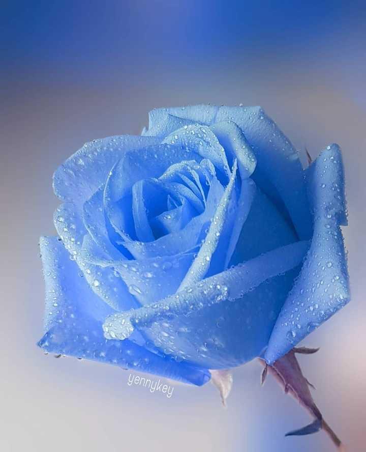 🌹 flower photography - yennykey - ShareChat