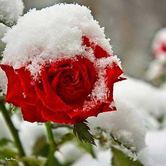 🌹 flower photography - Roma Pulp - ShareChat
