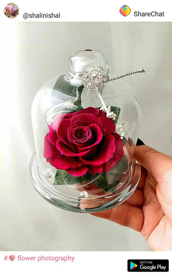 🌹 flower photography - @ shalinishal ShareChat # s® flower photography GET IT ON Google Play - ShareChat