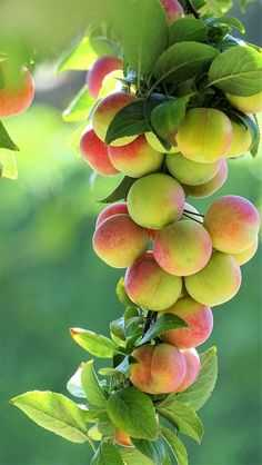 fruits photography - ShareChat