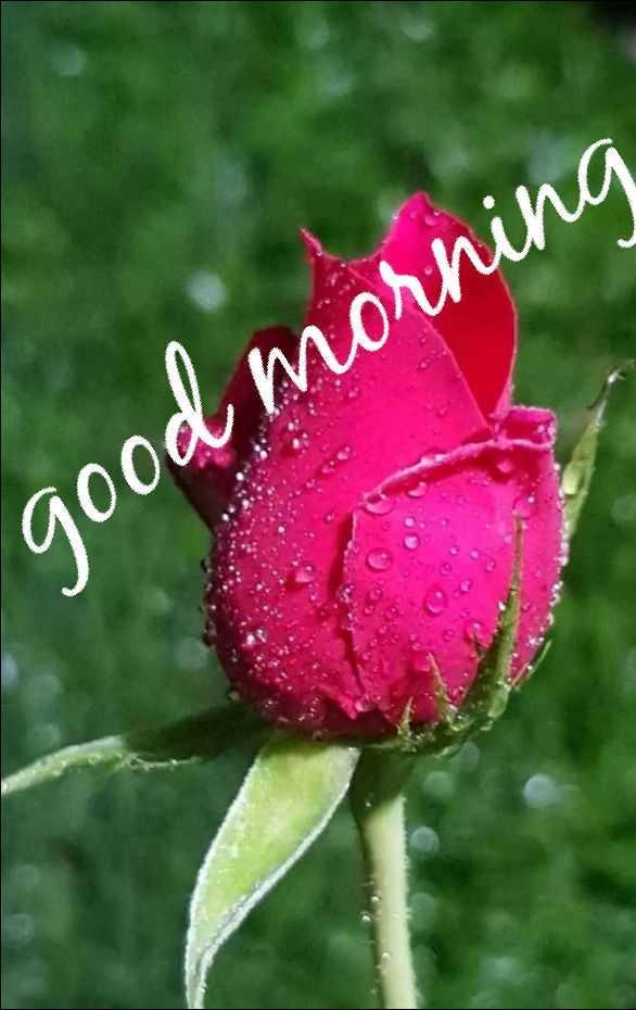 🌹good morning 🌹 - good morning - ShareChat