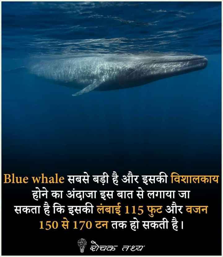 meri duniya - Blue whale सबसे बड़ी है और इसकी विशालकाय होने का अंदाजा इस बात से लगाया जा सकता है कि इसकी लंबाई 115 फुट और वजन 150 से 170 टन तक हो सकती है । | चक तथ्य - ShareChat