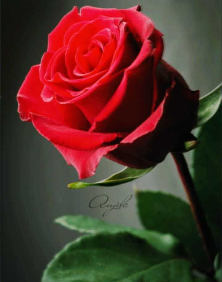 red rose 🌹 - Aupila - ShareChat