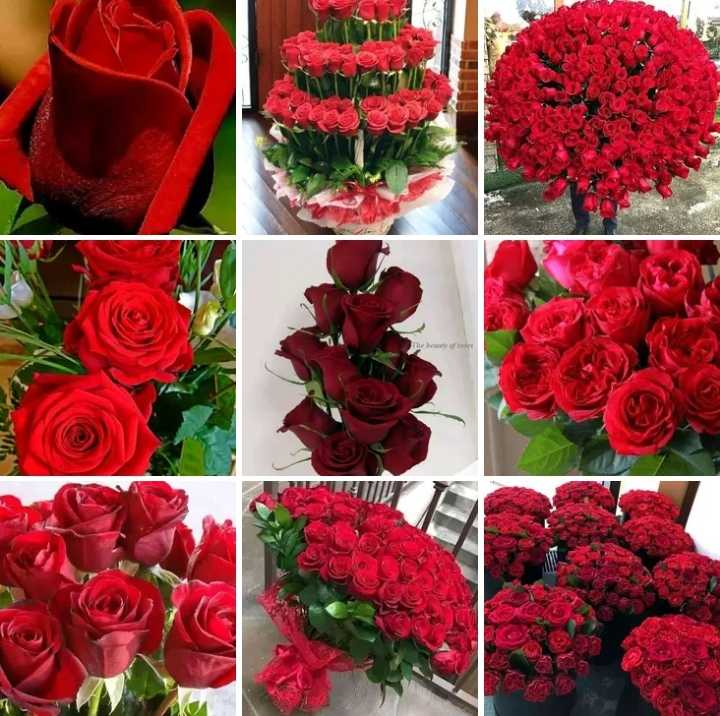 red rose - ShareChat