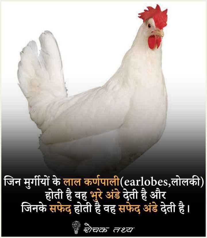 true fact😃 - जिन मुर्गीयों के लाल कर्णपाली ( earlobes , लोलकी ) होती है वह भुरे अंडे देती है और जिनके सफेद होती है वह सफेद अंडे देती है । ਦੋਚ ਰਹ - ShareChat